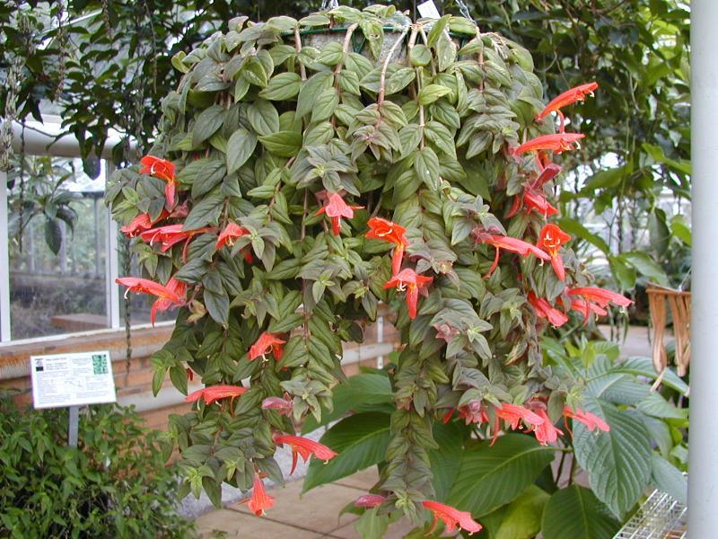 Cambridge england botanic garden columnea sp - Plantas colgantes de exterior ...