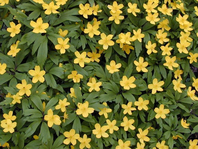 Cambridge england botanic garden spring flowers mightylinksfo