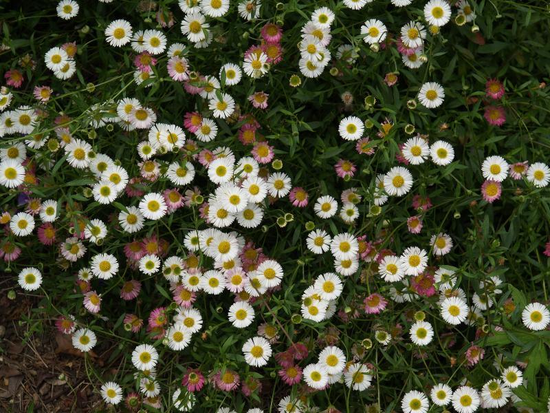 Cambridge, England: Botanic Garden: Daisy (Latin American, Mexican) fleabane (Erigeron karvinskianus)