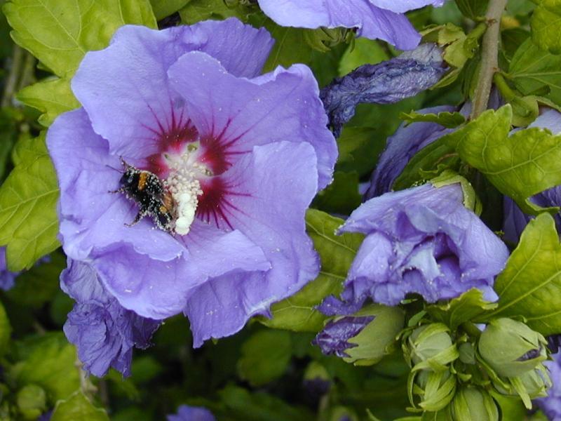 cambridge england botanic garden hibiscus syriacus. Black Bedroom Furniture Sets. Home Design Ideas