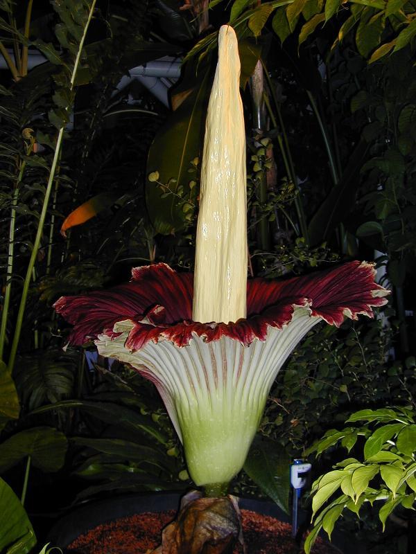 Cambridge, England: Botanic Garden: Titan Arum (Amorphophallus titanum) (midnight)