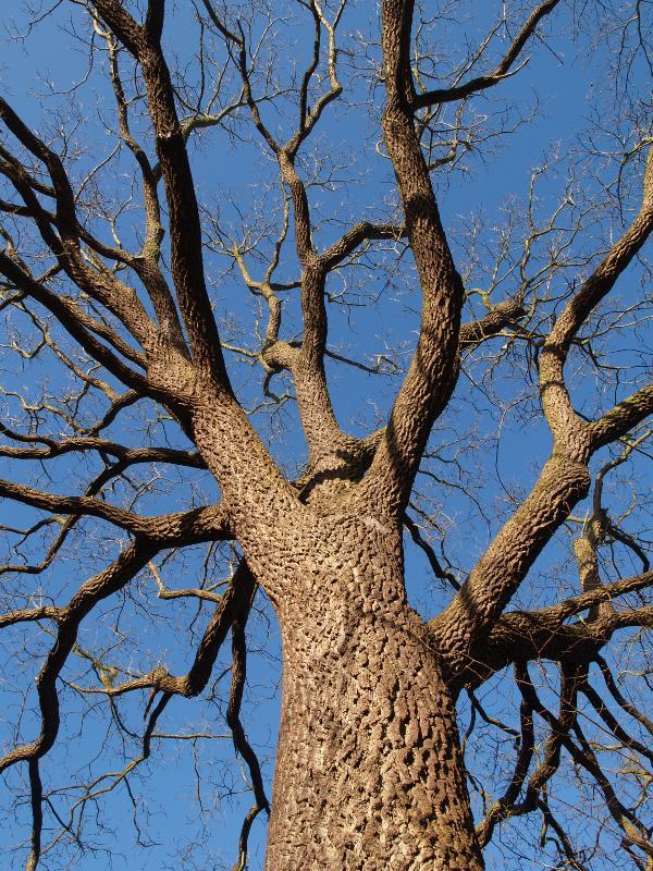 Cambridge england botanic garden black walnut tree for Garden trees england